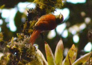 Margarornis Squamiger