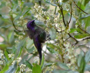 Purple-backed thornbill